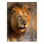 King of the Jungle Postcard