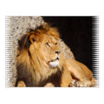 Lion Photo Postcard